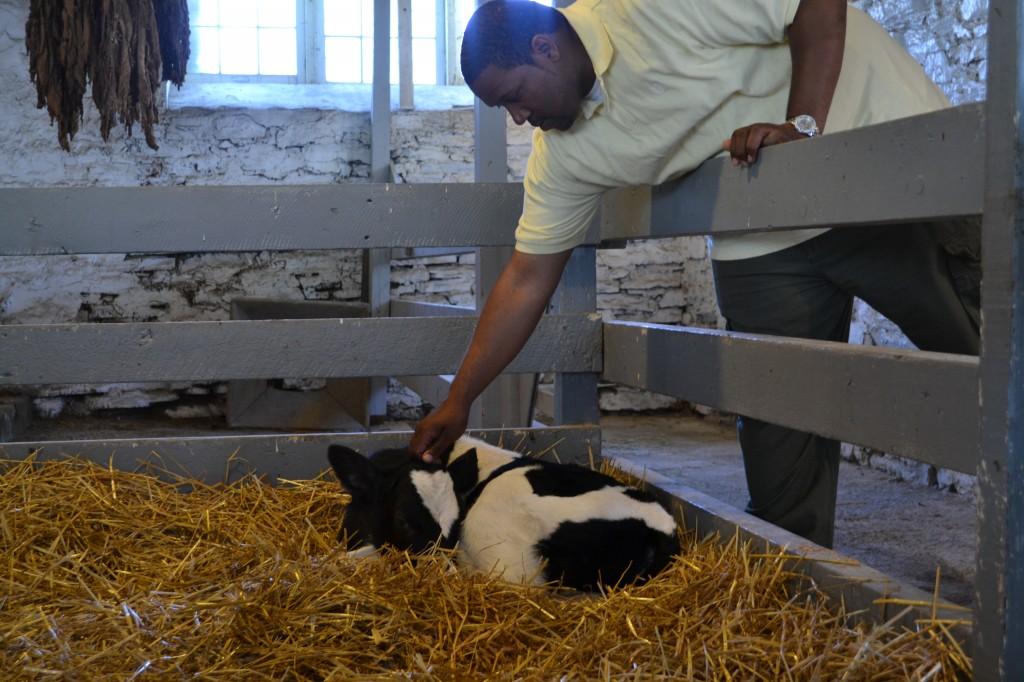petting a calf, Amish Village, PA