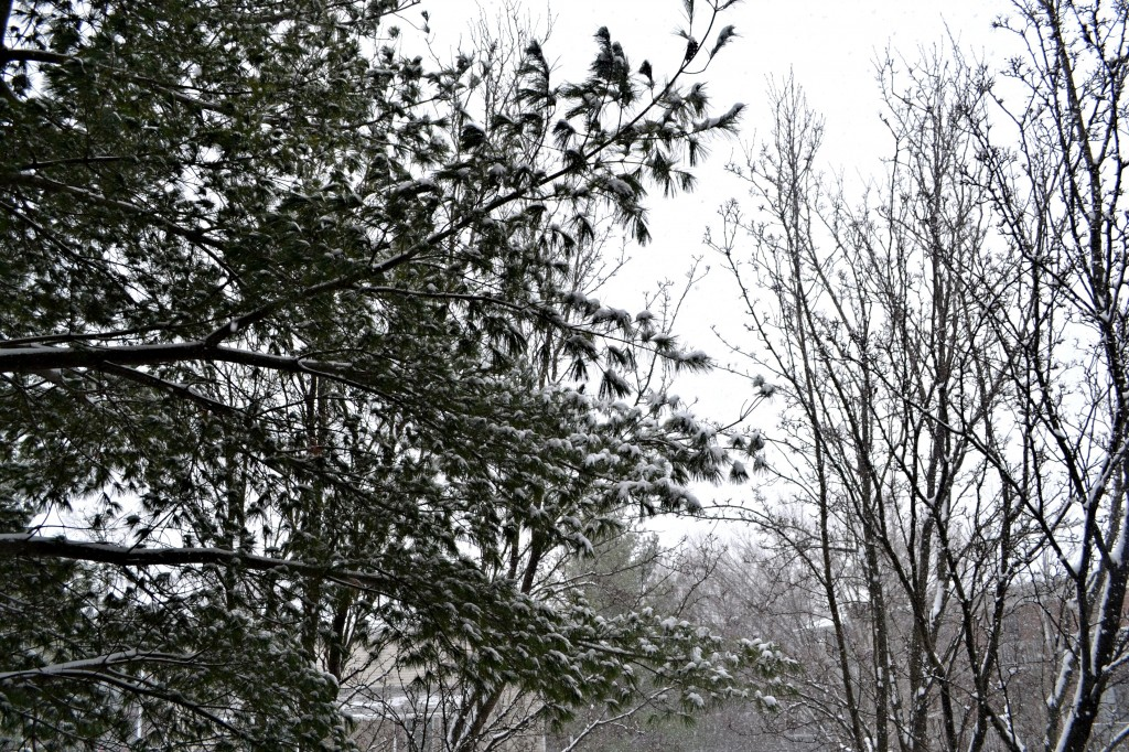 picture of snow in trees