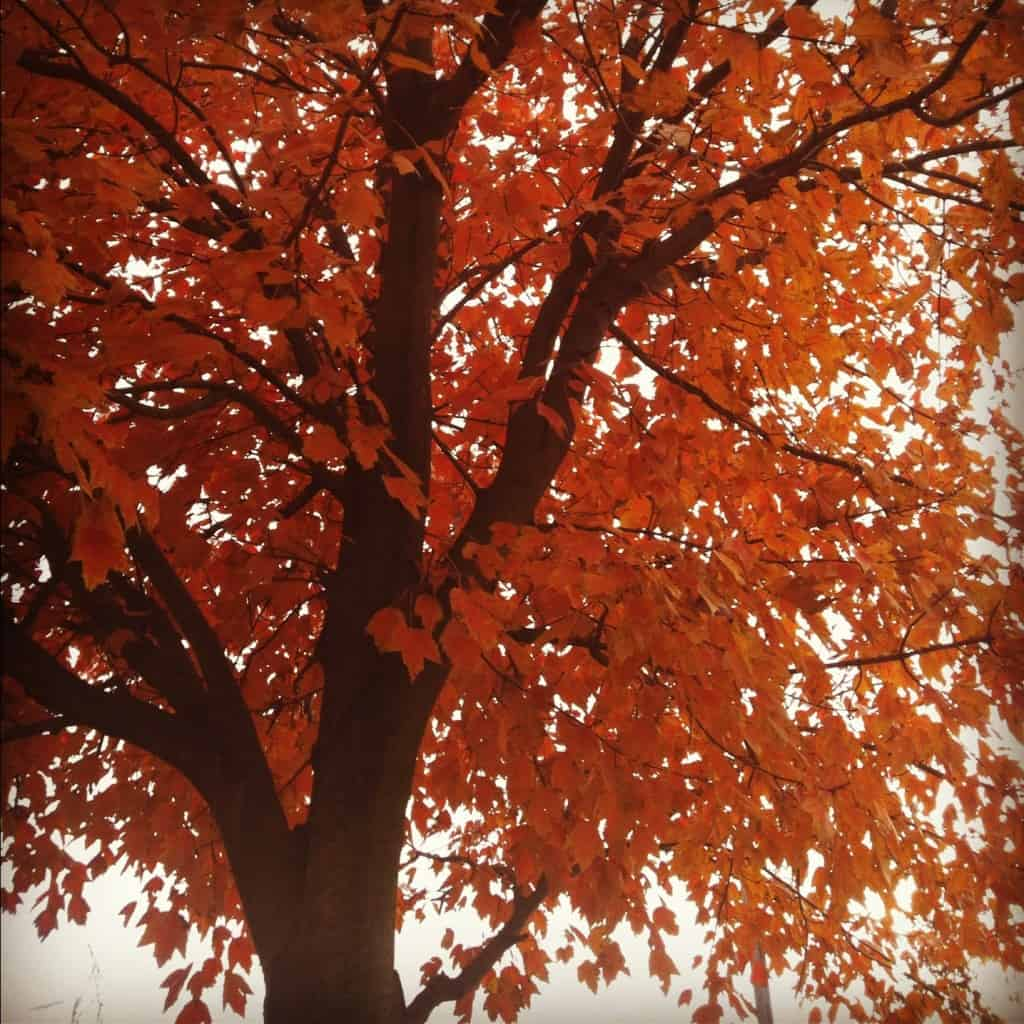 When I think of Thanksgiving, I always envision the changing color of the leaves. In this post, I explain why.